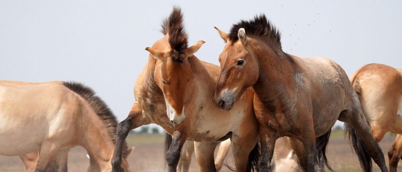Ungarns vilde heste